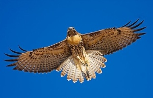 red-tailed-hawk-i
